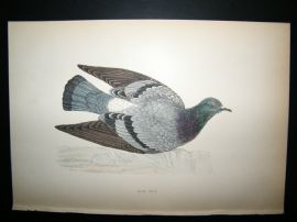 Morris 1870 Antique Hand Col Bird Print. Rock Dove